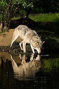 Grey wolf drinking water with beautiful reflection in the morning light<br />