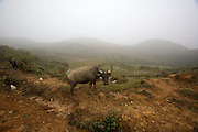 Hilltribe villages around Sapa. Black Hmong boy with water buffaloes.
