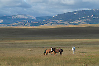 Horse grazing on the prairie near Augusta Montana