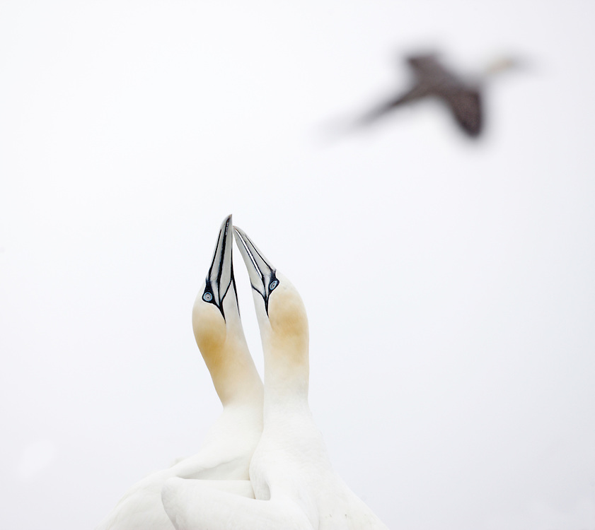 Gannet ( Sula bassana ) Ireland Saltee Islands south east coast