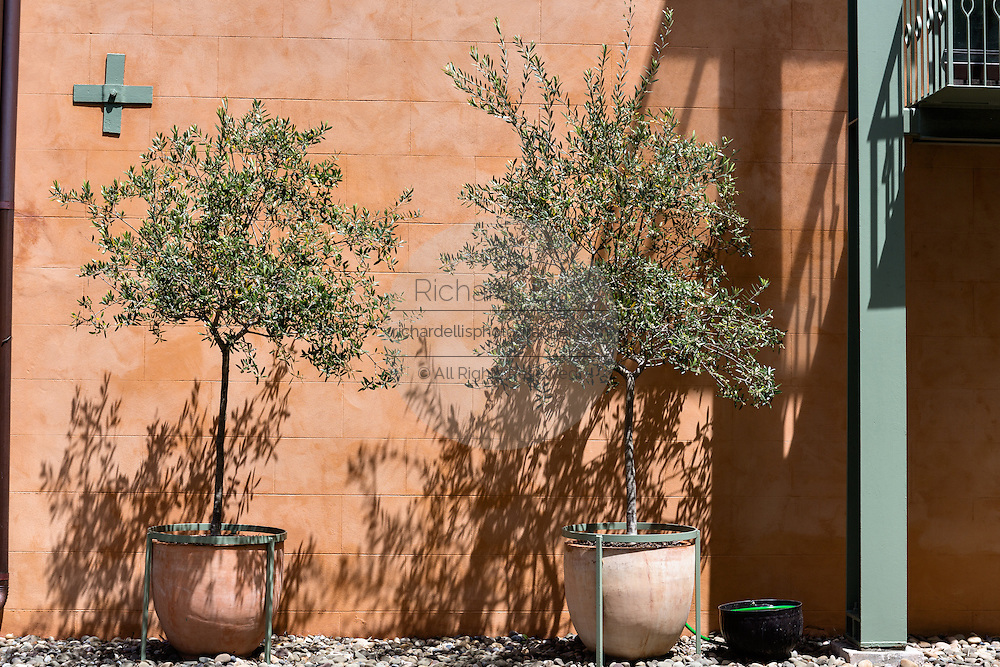 Olive trees growing in a pot along a old wall in the French Quarter along Church Street in historic Charleston, SC.