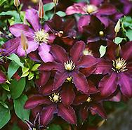 "The flowers of Clematis ""Niobe"""