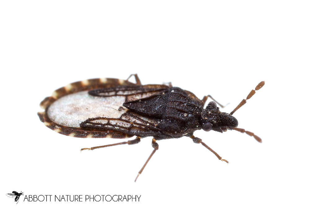 Flat Bug (Aradus sp.)<br /> TEXAS: Jasper Co.<br /> Brookeland/Lake Sam Rayburn @ 505 Co Rd 212<br /> 10.June.2015<br /> J.C. Abbott #2739 &amp; K.K. Abbott