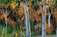 Betula utilis var. jacquemontii, Stipa gigantea
