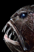 [captive] Common fangtooth (Anoplogaster cornuta), Deep Sea fish, (Valenciennes, 1833), portrait,  Ord. Beryciformes, Fam. Anoplogastridae. Atlantic Ocean close to Cape Verde | Fangzahn
