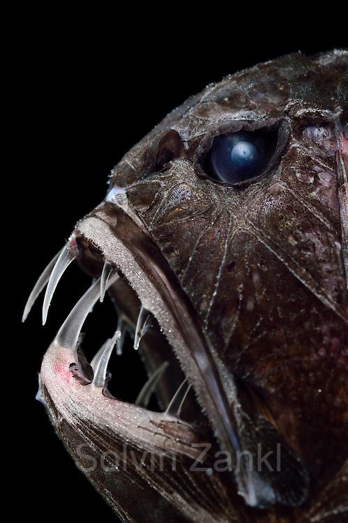 [captive] Common fangtooth (Anoplogaster cornuta), Deep Sea fish, (Valenciennes, 1833), portrait,  Ord. Beryciformes, Fam. Anoplogastridae. Atlantic Ocean close to Cape Verde | Fangzahn