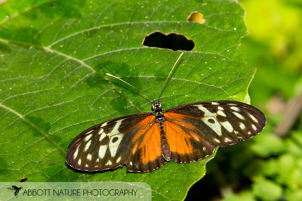 Tiger Longwing, Hecale Longwing, Golden Longwing, or Golden Heliconian (Heliconius hecale zuleika)<br /> Belize: Cayo District<br /> Green Hills Butterfly Ranch<br /> 10-Aug-2015<br /> J.C. Abbott
