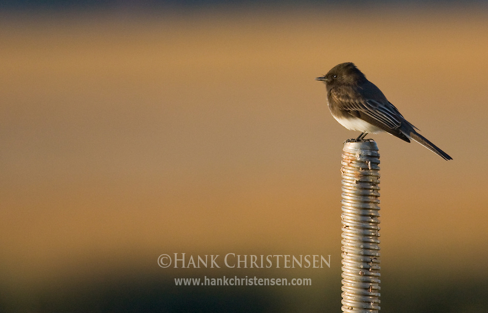 Black Phoebe perched atop a threaded metal pole, late evening light