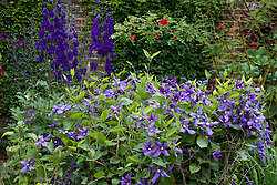 Clematis durandii in the Purple Border at Sissinghurst Castle Garden