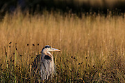 A great blue heron (Ardea herodias) rests in the tall marsh grasses in the Edmonds Marsh, Edmonds, Washington.
