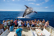 A group (MR) on a whale watching boat out of Lahaina, Maui, get a close look at a breaching humpback whale, Megaptera novaeangliae, Hawaii.  Everyone pictured is model released.