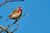 House Finch (Carpodacus mexicanus) - male - perched in tree,  Healdsburg, California, USA