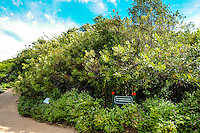 Kirstenbosch National Botanical Garden at the foot of Table Mountain in Cape Town, South Africa. Van Riebeecks Hedge.