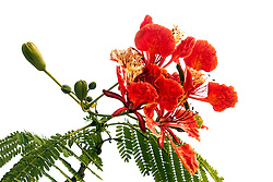 Royal Poinciana Tree Delonix Regia #23