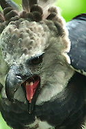 Aguila Harp&iacute;a es el Ave Nacional de Panam&aacute; y la especie s&iacute;mbolo de la diversidad biol&oacute;gica de Ecuador. Es el Aguila m&aacute;s grandes y la rapaz m&aacute;s poderosa del mundo.<br /> Habitad de estas aves:  Bosque h&uacute;medo tropical, Bosque muy h&uacute;medo tropical y Bosque muy h&uacute;medo premontano .  <br /> Estado Actual Especie en Peligro de Extinci&oacute;n.<br /> Su estado se debe ha la destrucci&oacute;n de su h&aacute;bitat y la cacer&iacute;a (incluye las de sus presas).  &copy;Alejandro Balaguer/ Fundacion Albatros Media