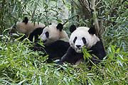 Giant Panda<br /> Ailuropoda melanoleuca<br /> Sub-adults<br /> Chengdu Research Base of Giant Panda Breeding, Chengdu, China<br /> *captive