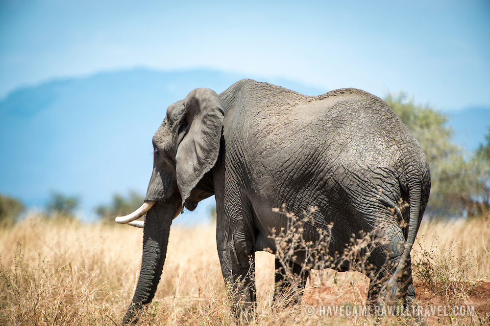 An adult elephant stands in the grass at Tarangire National Park in northern Tanzania not far from Ngorongoro Crater and the Serengeti. In the background in the distance are some of the hills surrounding the park.