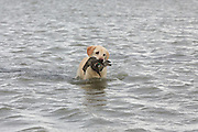 Ten Year Old Yellow Labrador Retriever with a greenwinged teal During a Manitoba Waterfowl Hunt