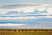 American Bison grazing among wild iris blooms  in the wet meadows of the San Luis Valley in Great Sand Dunes NP and Preserve on a late Spring morning with the the Crestone Peaks rising out of the clouds of a clearing storm