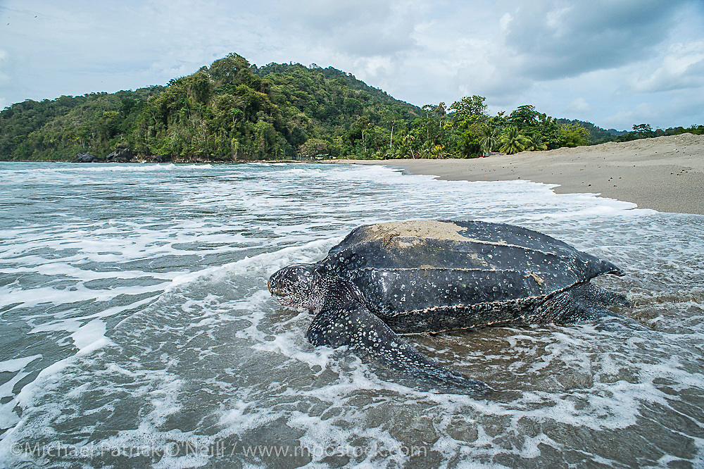 A female Leatherback Sea Turtle, Dermochelys coriacea, nests during the hot afternoon on Grand Riviere, Trinidad, and returns to the Caribbean Sea. During peak nesting season in late May / early June, this beach will receive roughly 300 nesting Leatherback every night, making it one of the busiest and most important nesting locations in the world for the critically endangered species.