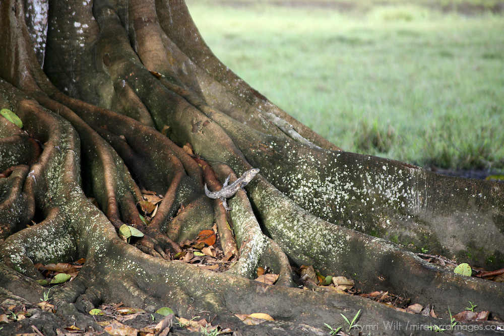 Central America, Latin America, Costa Rica. An iguana rests camouflaged against tree roots.