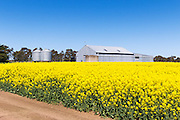 farm shed and silo in field of flowering canola crop near Willaura, rural Victoria, Australia.