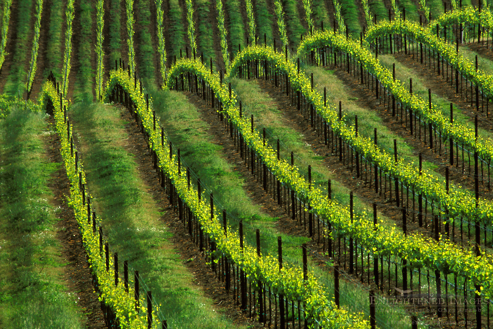 Vineyard in spring, (detail) Westside Road, near Healdsburg, Sonoma County, California