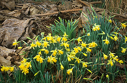 Narcissus pseudonarcissus - Wild daffodil - naturalised amongst the leaves of a dormant gunnera at Great Dixter