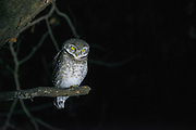Spotted owlet (Athene brama)<br /> National Chambal Sanctuary or National Chambal Gharial Wildlife Sanctuary<br /> Madhya Pradesh, India<br /> Range: Indian Subcontinent & Asia