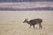 White-tailed Deer grazes on grass in Cades Cove, Great Smoky Mountains National Park