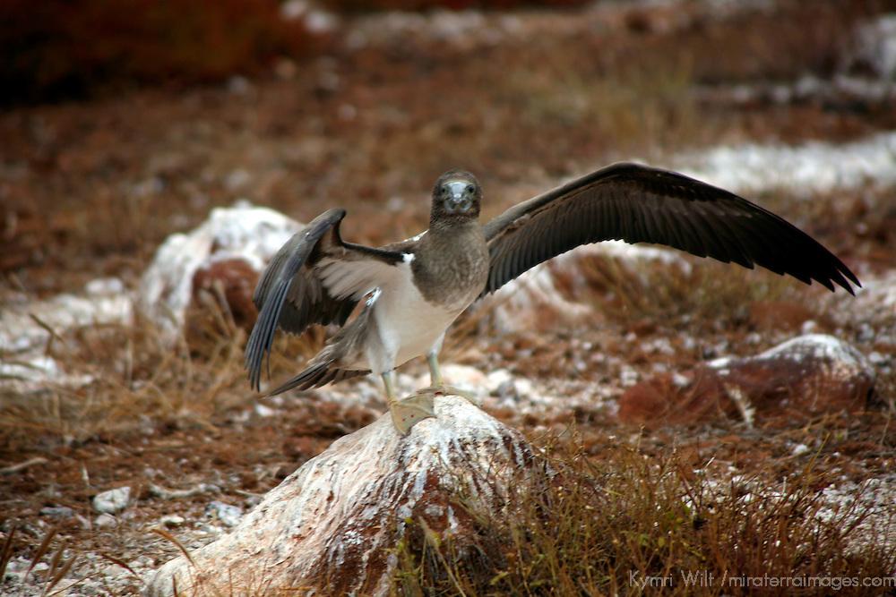 South America, Ecuador, Galapagos Islands, North Seymour Island. Immature Blue-footed Booby.