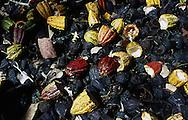 Cáscaras de las mazorcas de cacao. Estas cáscaras  se pudren rápidamente, son ricas en potasio y  se dejan en el campo para que fertilicen los cacaoteros. 2001. (Ramón Lepage / Orinoquiaphoto)  Shells of the cocoa cobs. These shells rot rapidly, are rich in potassium and are left in the field so that they fertilize the cacaoteros. 2001. (Ramon Lepage / Orinoquiaphoto)