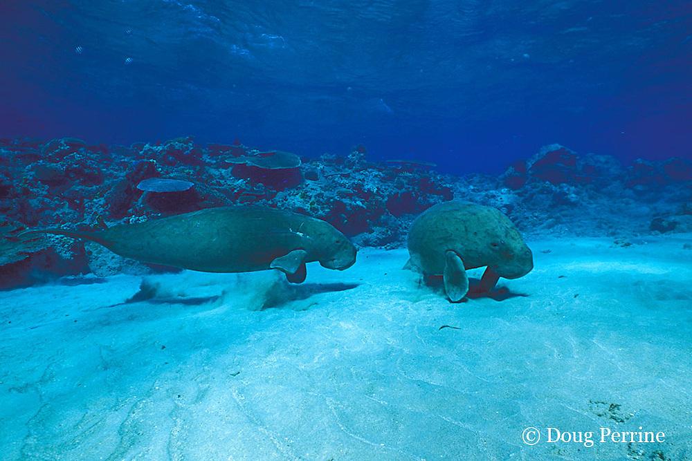 dugongs or sea cows, Dugong dugon, Vanuatu, South Pacific
