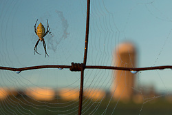 FRANKFORT, Ky., -- KSU Benson Research and Demonstration Farm an Argiope (Orb weaver) waits for a meal, Wednesday, Oct. 04, 2017 at the Benson Research Farm in FRANKFORT.