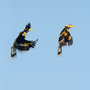 The great hornbill (Buceros bicornis) also known as the great Indian hornbill or great pied hornbill, is one of the larger members of the hornbill family. Photographed here showing the sequence of flight as the bird comes in to land on a tree, at the Thung Yai Naresuan Wildlife Sanctuary in Thailand.