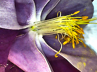 Macro shot of the stamens and anthers of a purple and white columbine flower.