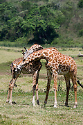 (Giraffa camelopardalis) Two adult giraffes engage in necking. Arusha National Park, Tanzania.