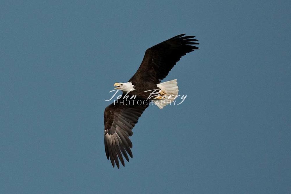 Bald Eagles .4/26/2009