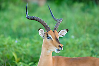 An impala is a medium-sized African antelope. Emdoneni Game Reserve, South Africa.