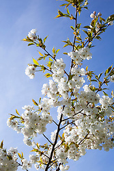 Prunus 'Shirotae' in blossom against a blue sky. Japanese Flowering Cherry, Mount Fuji Cherry