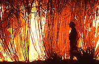 A rare sight in the far north these days, a cane farmer keeping an eye on his burning paddock.