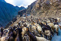 Sheep and goats being herded over the Zojila Pass, Kashmir, Jammu and Kashmir State, India.