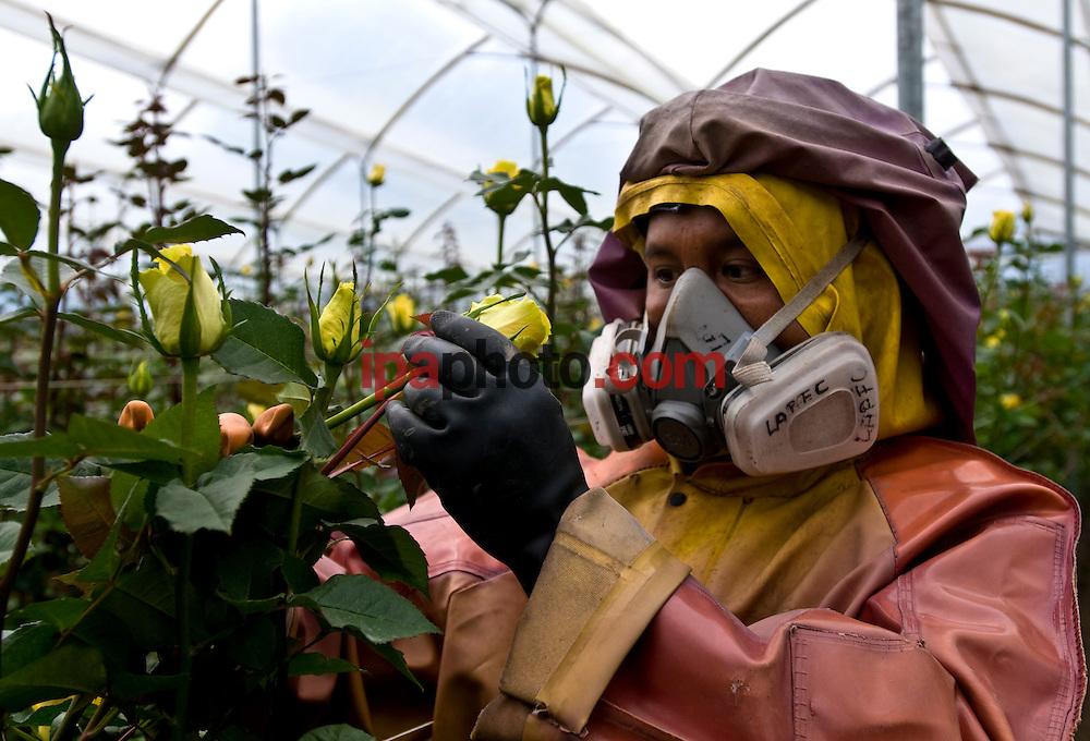 QUITO, ECUADOR, FEB/09/2009<br /> Roses production for Valentine Day in Ecuador February 09 2009. (Photo by IPAPHOTO.COM).<br /> <br /> QUITO, ECUADOR, FEB/09/2009<br /> Abelardo Pi&ntilde;eira, t&eacute;cnico fumigador de la flor&iacute;cola Sisapamba, en la zona de Cayambe, a 80 km al norte de Quito, inspecciona la variedad de rosa Idol que se comercializar&aacute; en la fiesta de San Valent&iacute;n. El Ecuador es uno de los principales exportadores de rosas en el mundo que se venden en el mercado Norteamericano, Europeo y Ruso. En San Valent&iacute;n las variedades de coloraci&oacute;n rojiza son las m&aacute;s apreciadas.  La siembran se realiza en las zonas andinas ecuatorianas y han obtenido una gran reputaci&oacute;n por su calidad. El clima ecuatorial andino, las hacen  competitivas en calidad y duraci&oacute;n. T&eacute;cnicos expertos mantienen que son las mejores rosas del mundo porque los cultivos se encuentran en la l&iacute;nea ecuatorial, con suelo volc&aacute;nico, rico en nutrientes y componentes qu&iacute;micos y f&iacute;sicos, donde la luminosidad promedia de 10 a 12 horas al d&iacute;a y las fincas productoras al estar a un nivel de 2.800 metros, permite que el tallo obtenga mayor tama&ntilde;o, mejor follaje y color intenso.<br /> (Photo by IPAPHOTO.COM).