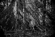 Ecuadorian boatman, Ronny Cox, stands before a massive buttressed roots of a Ceibo tree in the core ITT block of Yasuni National Park, only accessible by boat and then on foot.  President Rafael Correa proposed to forbid drilling for petroleum in this core area as part of his Yasuni-ITT Initiative in 2007, if and only if international donors raised US$3.6 billion, equal to half the value of the estimated reserves lying below this bio-hotspot.  (Drilling for oil is already taking place in other areas of Yasuni National Park.)  The initiative failed spectacularly as only US$13 million were raised.  The Yasuni-ITT Initiative, through which the Ishpingo, Tambococha, Tiputini Rivers run, was terminated on 15 August 2013.  Although 78% - 90% of Ecuadorians opposing drilling in this sensitive environment, the government has begun to let oil companies in.