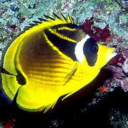 Racoon Butterfly inhabit reefs. Picture taken Fiji.