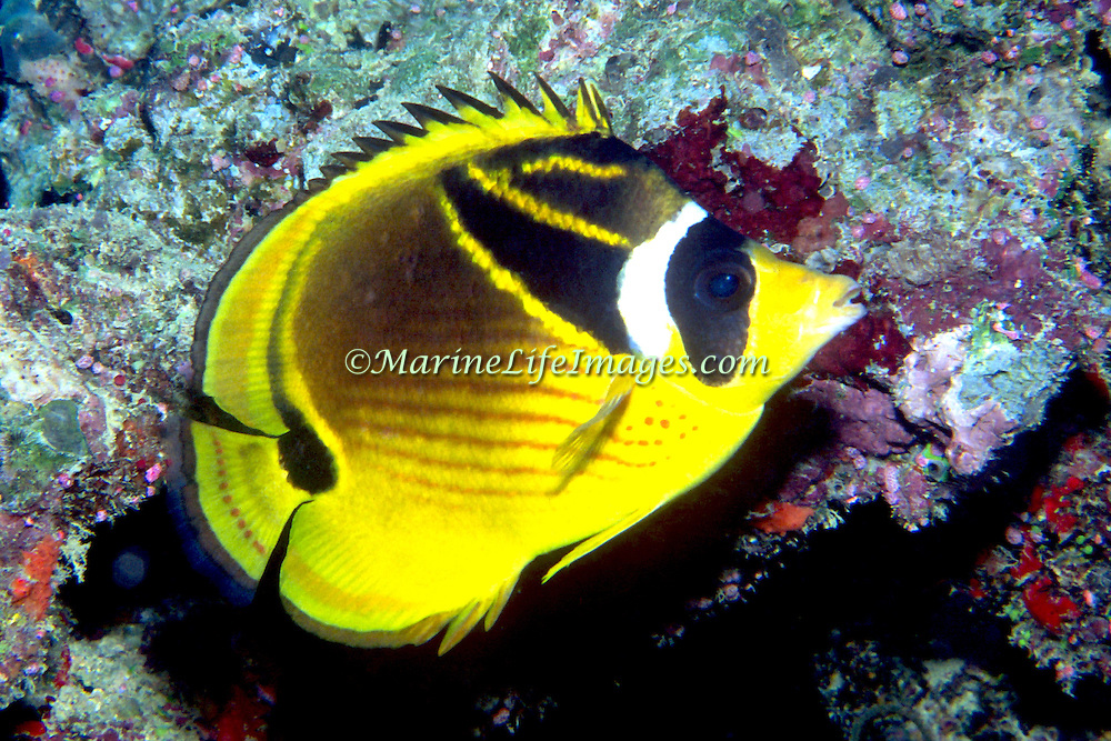 Racoon Butterfly inhabit reefs. Picture taken Fiji.