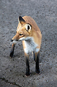 110918 fox