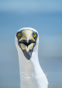 Portrait of a Masked booby bird.