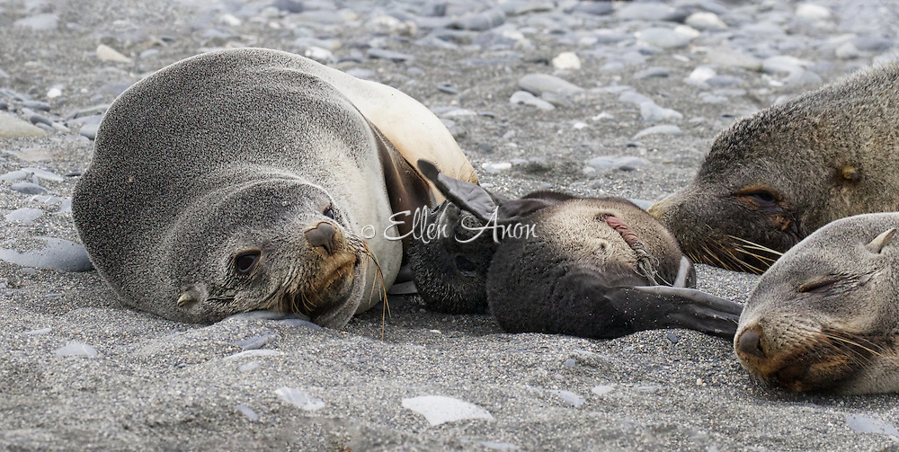 newborn seal, South Georgia Island
