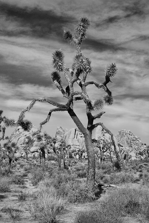 Joshua Tree - Infrared Black & White